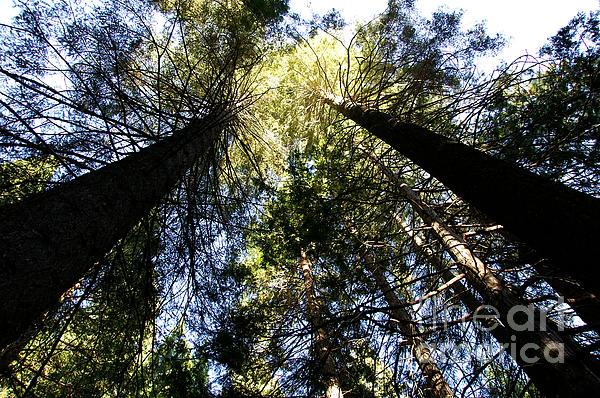 Michael Kirsh - Towering Sunlit Sequoias