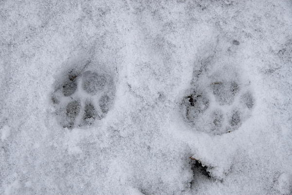 Traces Of A Cat In The Snow Netherlands Print by Ronald Jansen