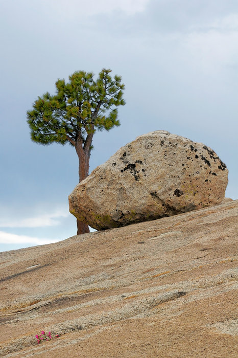 Tree At Olmsted Point Yosemite National Park California Print by Christine Till