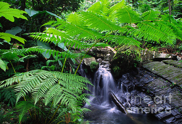 Tree Fern And Waterfall Print by Thomas R Fletcher