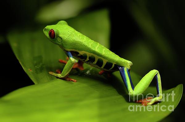 Tree Frog 12 Print by Bob Christopher