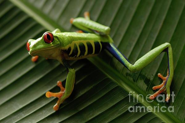 Tree Frog 16 Print by Bob Christopher