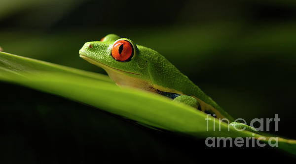 Tree Frog 7 Print by Bob Christopher