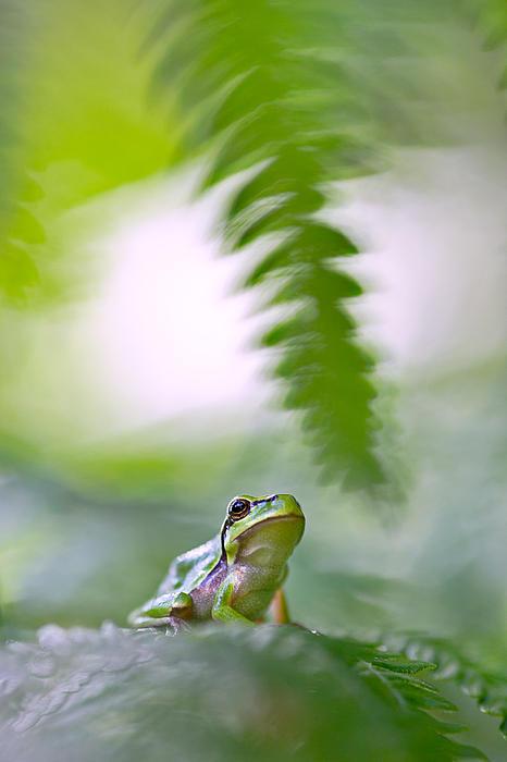 tree frog Hyla arborea Print by Dirk Ercken