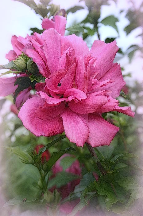 Tree Rose Of Sharon Print by Kay Novy