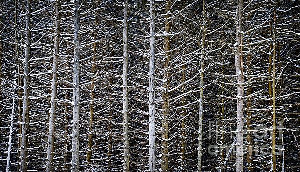Tree Trunks In Winter Print by Elena Elisseeva