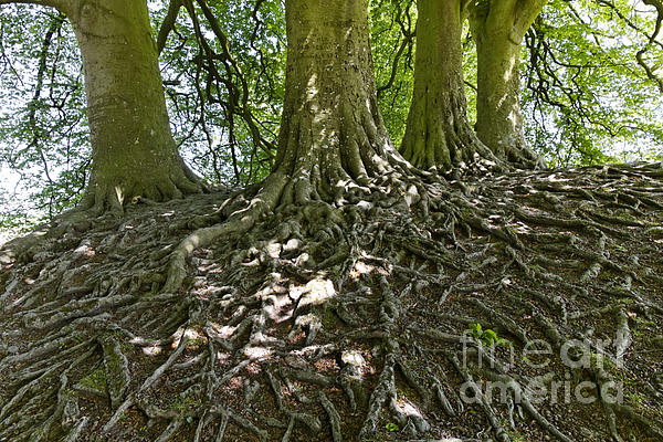 Trees And Roots Wiltshire England Print by Robert Preston