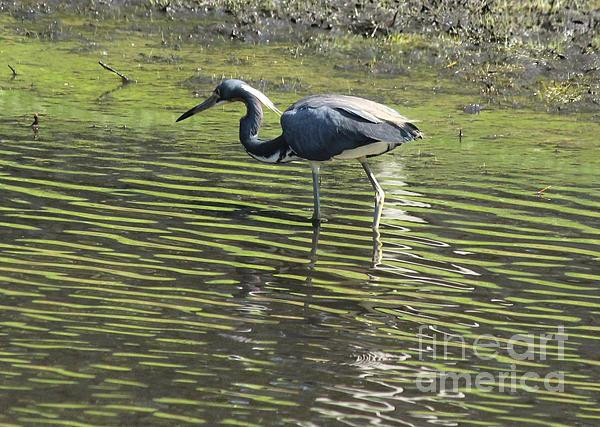 Tricolored Heron Print by Theresa Willingham