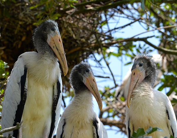 Richard Bryce and Family - Triplet Wood Stork Nestlings