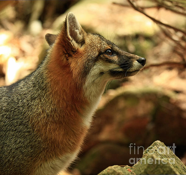 Truly Captivated By The Rare Grey Fox Print by Inspired Nature Photography By Shelley Myke