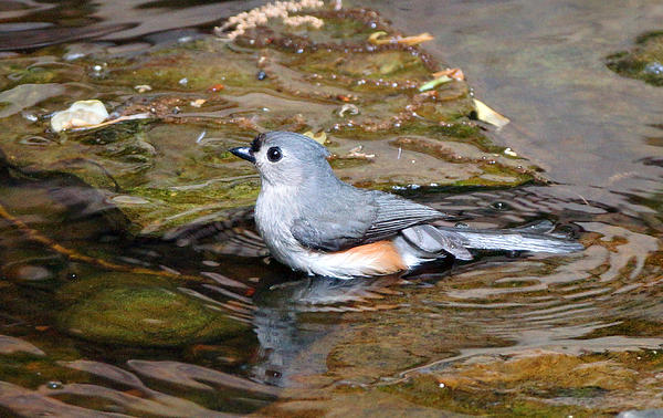 Tufted Titmouse In Pond II Print by Sandy Keeton