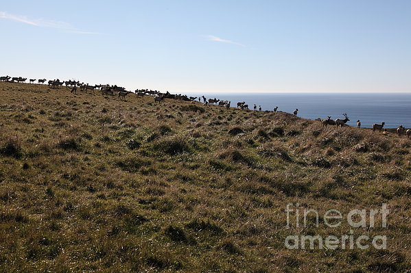 Tules Elks Of Tomales Bay California - 5d21276 Print by Wingsdomain Art and Photography