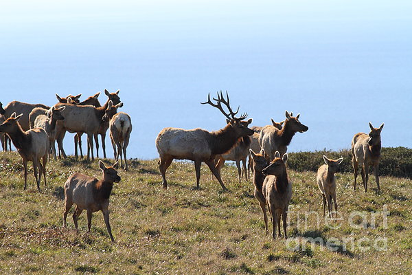 Tules Elks Of Tomales Bay California - 7d21236 Print by Wingsdomain Art and Photography