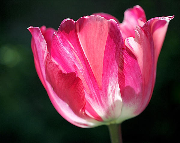 Tulip Painted In Shades Of Pink Print by Rona Black