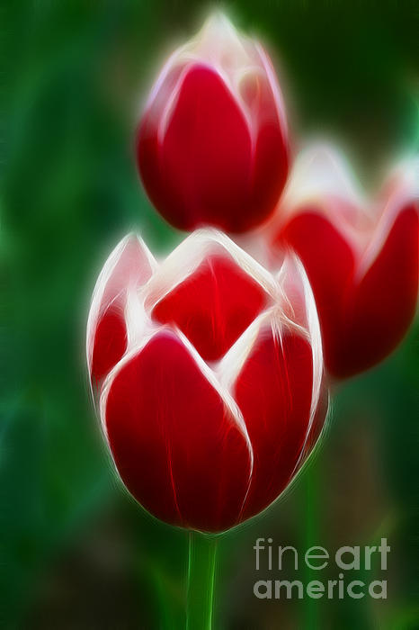 Tulips-6835-fractal Print by Gary Gingrich Galleries