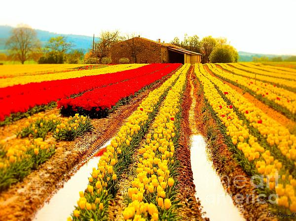 Tulips Field In Provence By A Farm Stone House France Print by Flow Fitzgerald