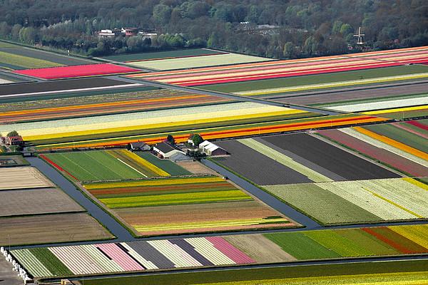 Tulips Fields, Lisse Print by Bram van de Biezen