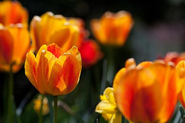 Karol  Livote - Tulips in the Garden