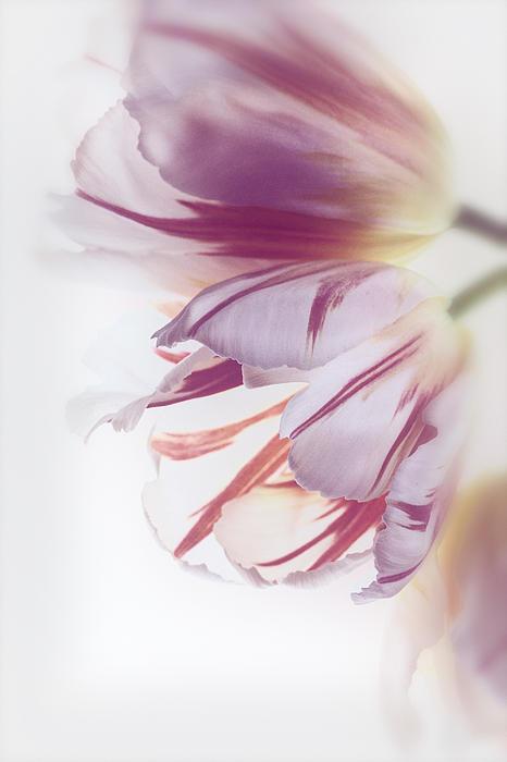 Tulips Print by Kim Aston