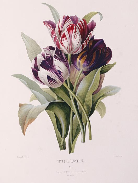Tulips Print by Pierre Joseph Redoute