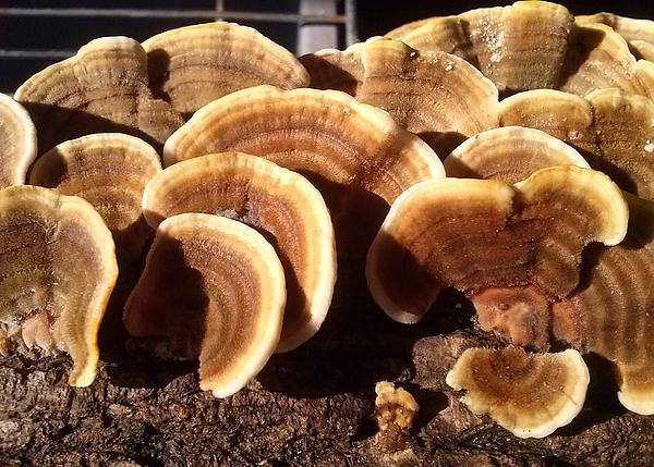 Brewer Tammy - Turkey Tail Mushroom
