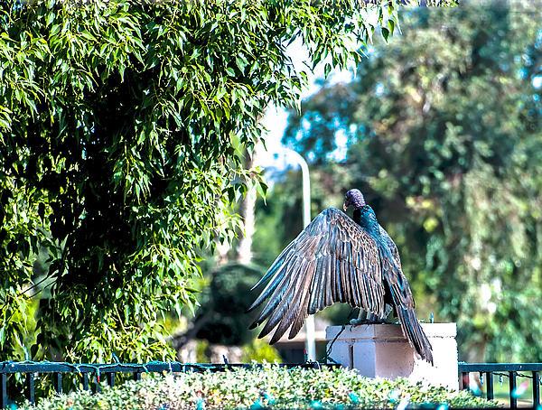Turkey Vulture 1 Print by Steve Knievel