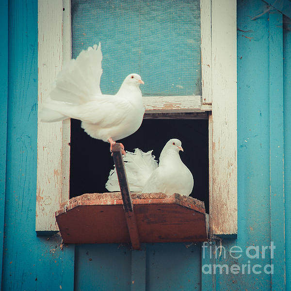 Turtle Doves 1x1 Print by Hannes Cmarits