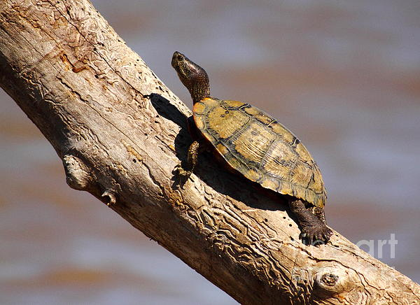 Robert Frederick - Turtle On A Fence Post