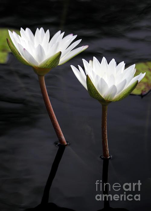Twin White Water Lilies Print by Sabrina L Ryan