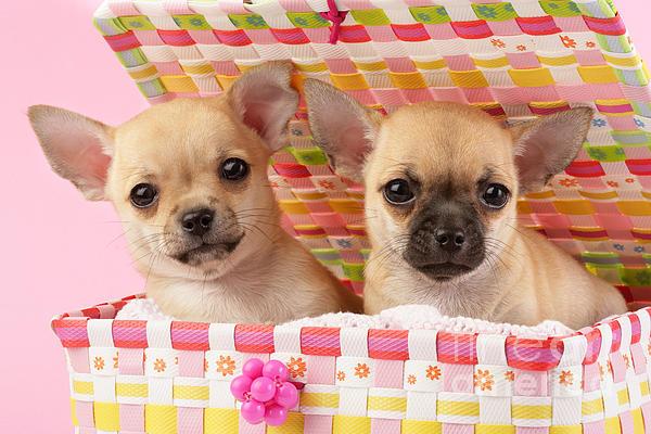 Two Chihuahuas Print by Greg Cuddiford
