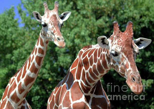 Two Giraffes Print by Kathleen Struckle