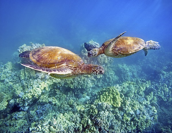 Two Green Turtles Print by M Swiet Productions