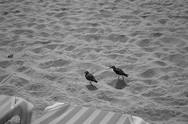 Two Little Birds On The Beach Print by Shaun Maclellan