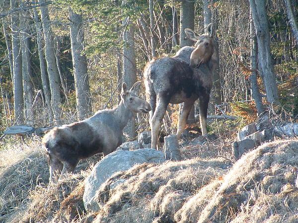 Joyce Giasson - Two Moose