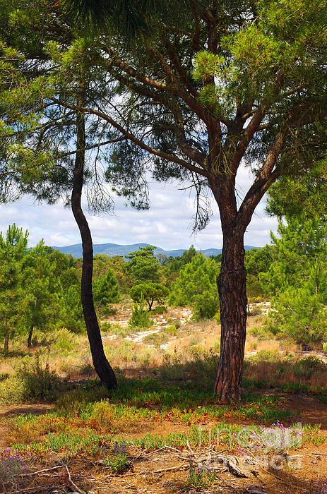 Two Pine Trees Print by Carlos Caetano