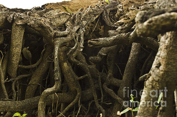 Underground Root System Of Ficus Plant by Image World
