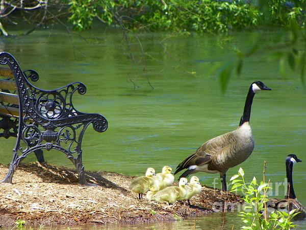 J J - Unforgettable Nature Moments - Canada Geese Family - Sweet Outdoors