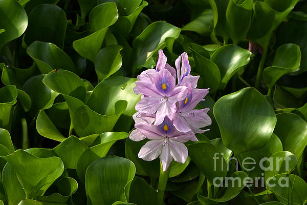 Unmanageable Beauty The Water Hyacinth Print by Byron Varvarigos