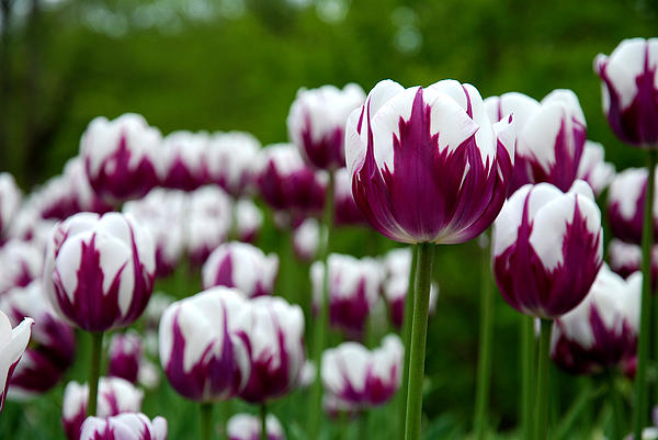 Unusual Tulips Print by Jennifer Lyon