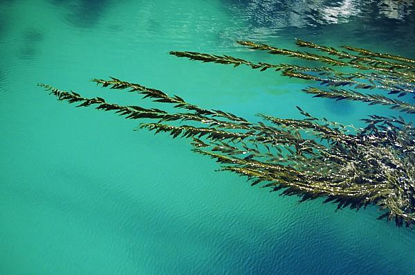 Usa, California, Seaweed Floating Print by Larry Dale Gordon