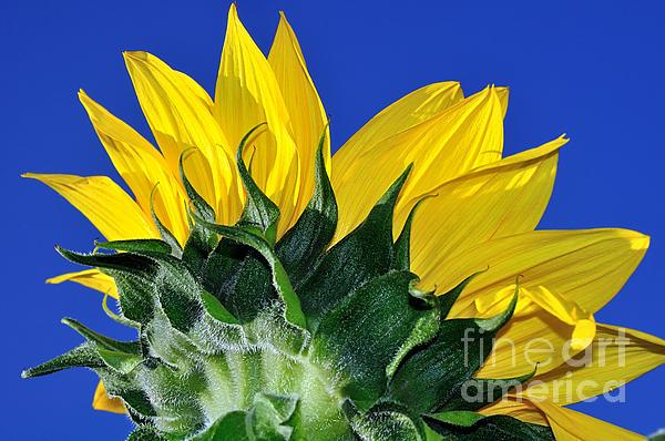 Vibrant Sunflower In The Sky Print by Kaye Menner