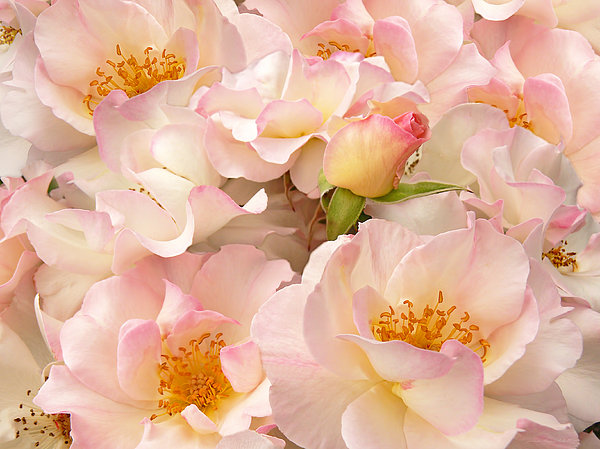Jennie Marie Schell - Victorian Pink Roses Bouquet