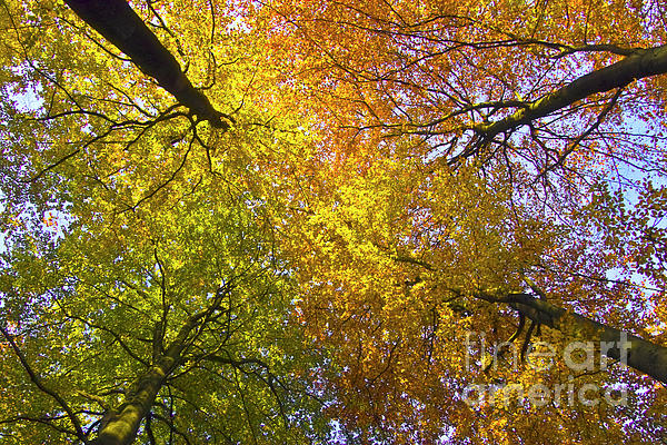 View To The Top Of Beech Trees Print by Heiko Koehrer-Wagner