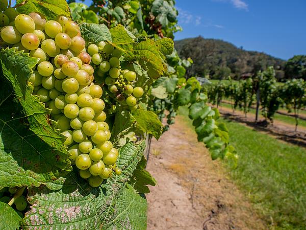 Vineyard Grapes Print by Justin Woodhouse