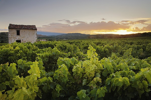 Vineyard Near Malemort-du-comtat Print by Andy Kerry
