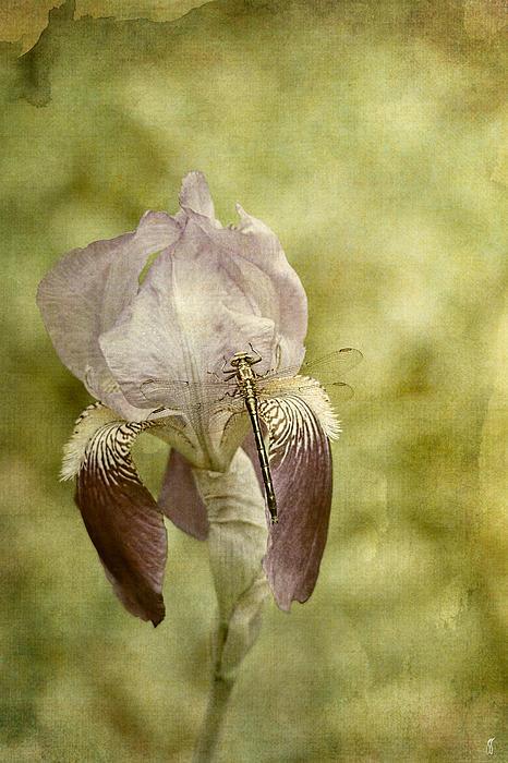 Vintage Iris 48