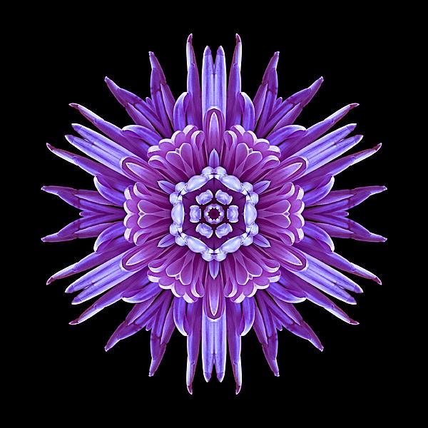 Violet Chrysanthemum Iv Flower Mandala Print by David J Bookbinder