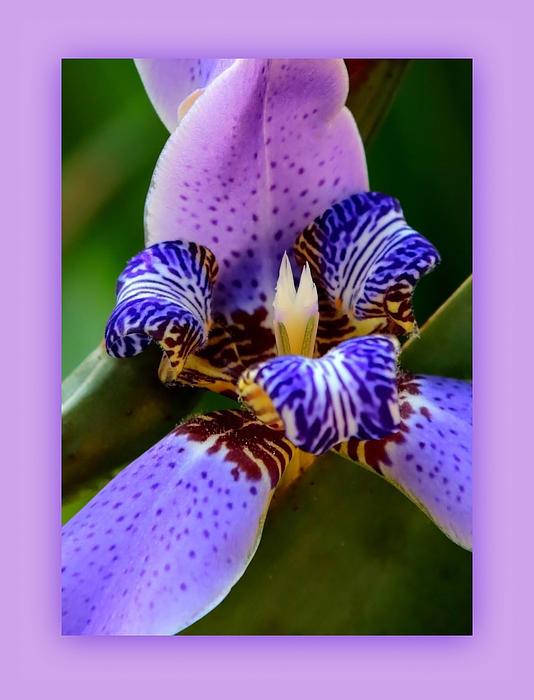 Walking Iris With Purple Border Print by Carol Groenen