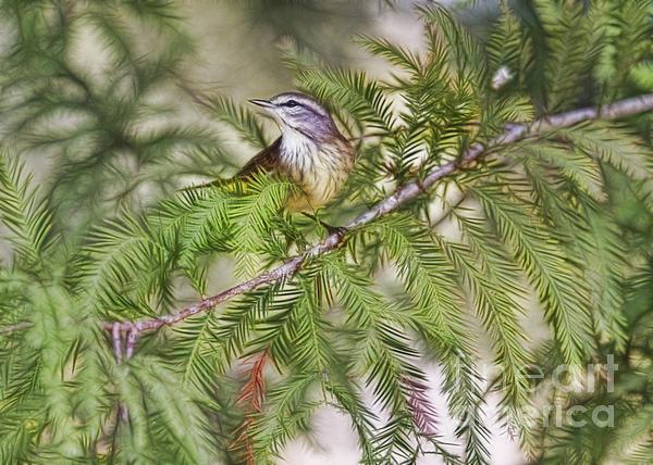 Warbler In The Cypress Print by Deborah Benoit