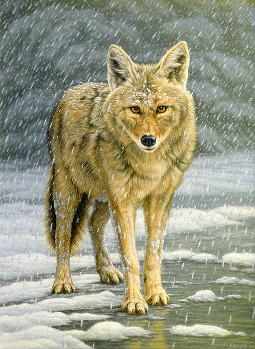 Wary Approach - Coyote Print by Paul Krapf